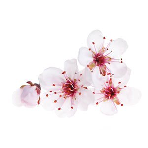 cherry blossoms fragrance oil
