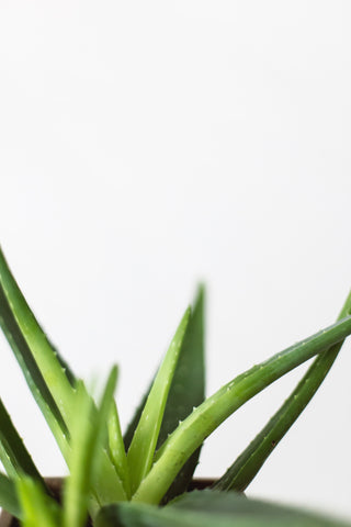 Aloe Vera, plants, green living, living with plants, magic, green, healing, grøn, plante, sundhed, stueplante, sukkulent