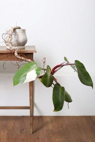 Monstera Deliciosa, Philodendron, greens, planter, plants, living with greens, green living, grønne hjem, Monstera, white princess