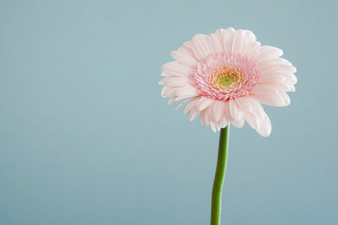 Gerbera, Flower, Blomst, clean air, luftrenser, living with plants, green living, grønne hjem, Planteliv,