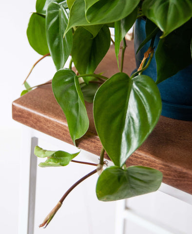 Heartleaf philodendron, hjerte philodendron, green living, living with plants, plants life, planter, flowers, blomster, interior, clean air, luftrenser