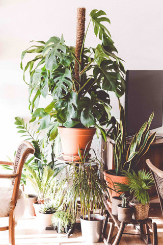 Monstera Deliciosa, Philodendron, greens, planter, plants, living with greens, green living, grønne hjem, Monstera