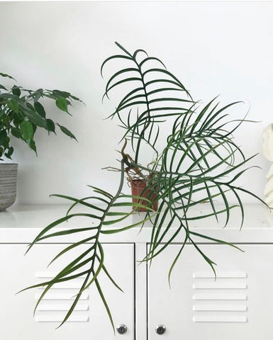 Philodendron Tortum, Fingerphilodendron, Monstera, Monstera Deliciosa, plants, planter, living with plants, green living, grønne hjem,