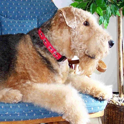 Airedale Terrier Dog Breed Collar or Leash