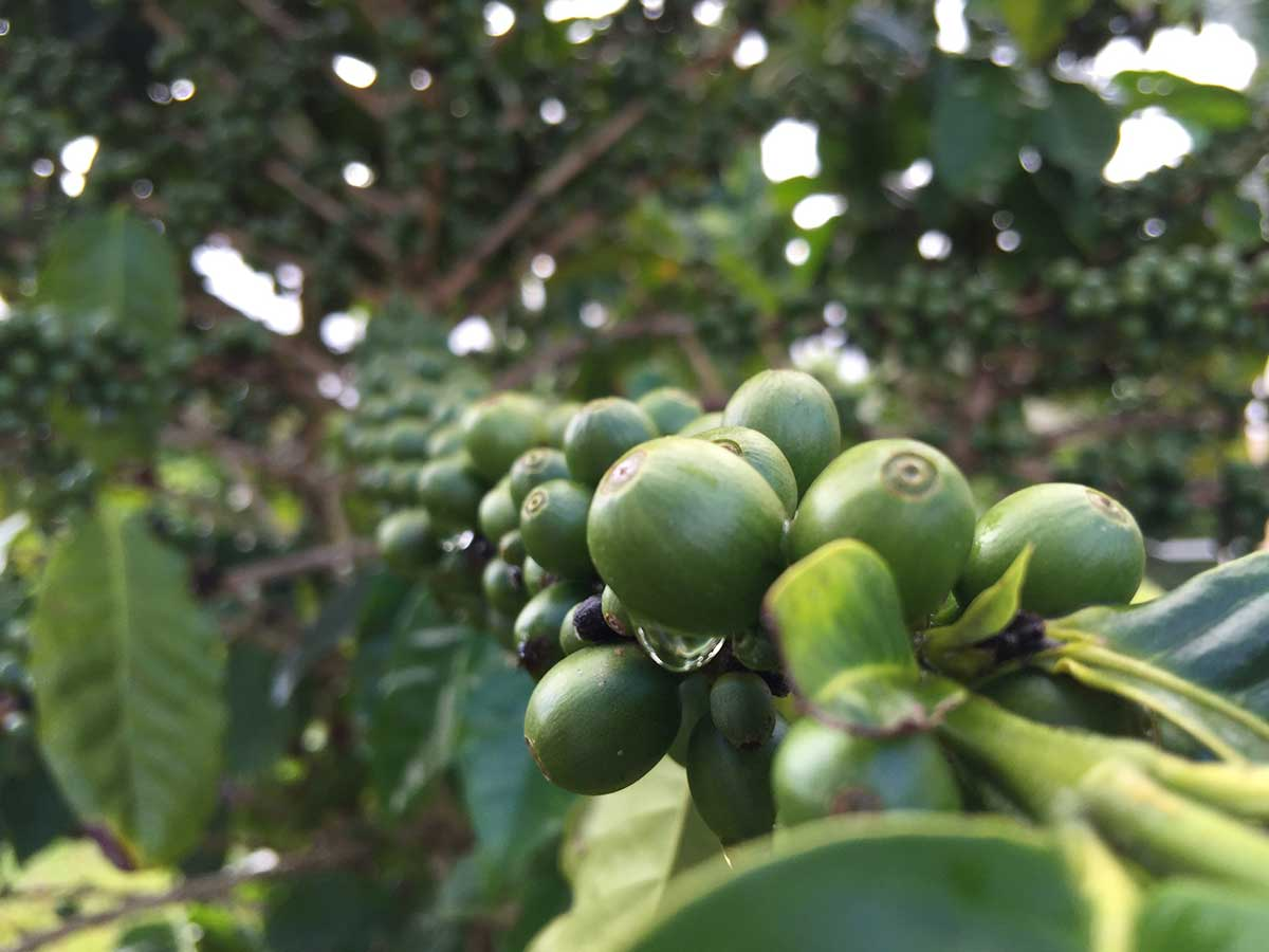 green coffee beans growing on a coffee plant