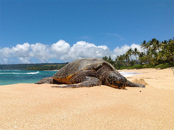 resting turtle at Papailoa Beach