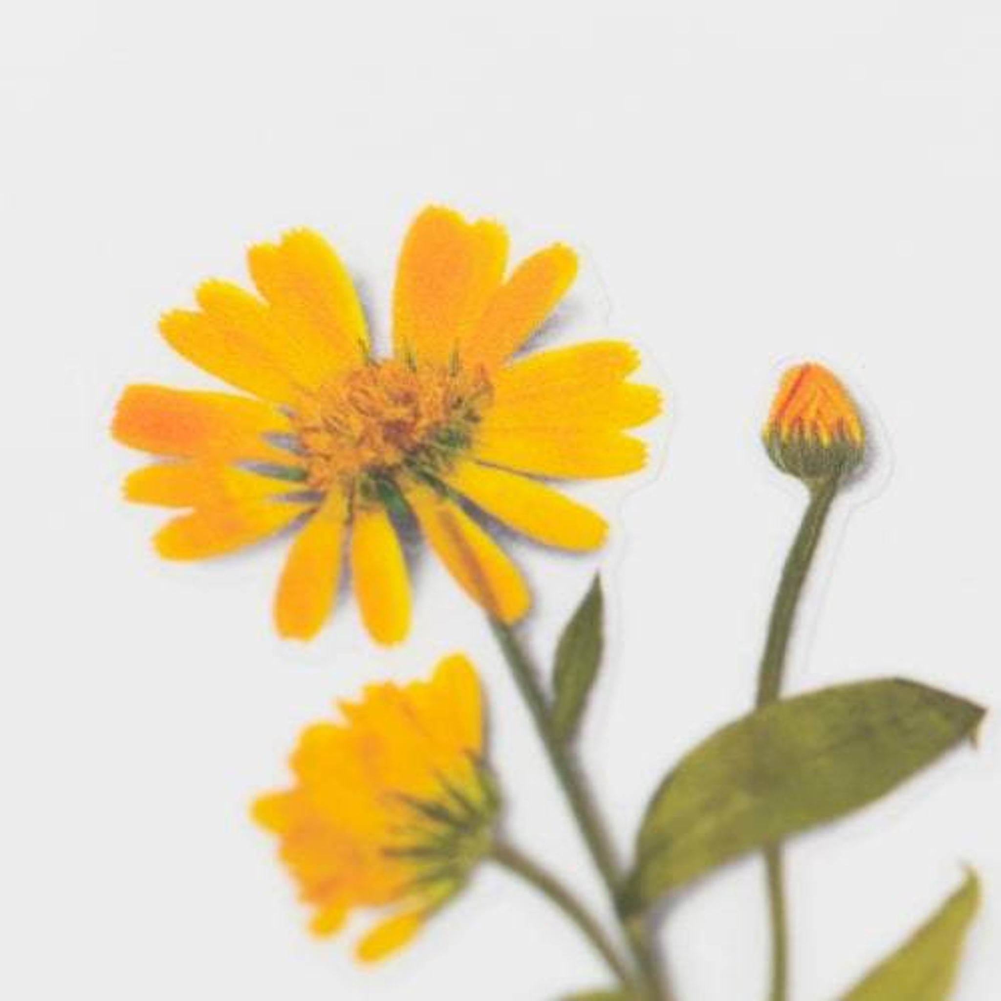 Appree Pressed Flower Sticker Calendula