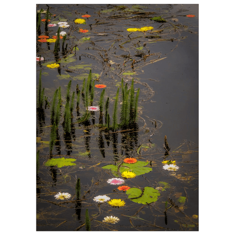 Image of Flat Card - Water Flowers at Markree Castle, County Sligo