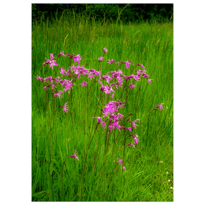 Flat Card - Ragged Robin in the County Kerry Countryside Flat Card Moods of Ireland 25 Cards