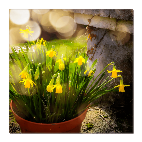 Image of Canvas Wrap - Blooming Daffodils in the Winter Sun Canvas Wrap Moods of Ireland 20x20 inch