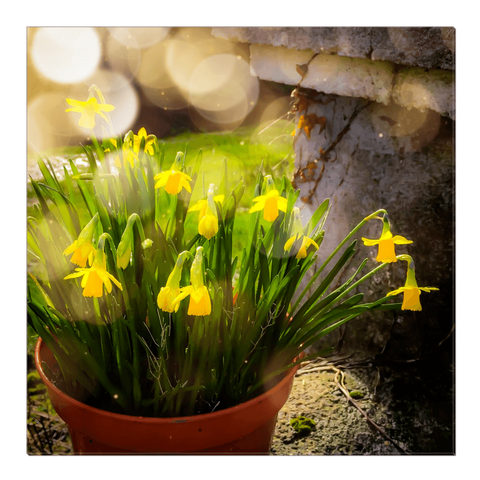 Image of Canvas Wrap - Blooming Daffodils in the Winter Sun Canvas Wrap Moods of Ireland 24x24 inch