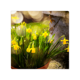 Canvas Wrap - Blooming Daffodils in the Winter Sun Canvas Wrap Moods of Ireland 8x8 inch