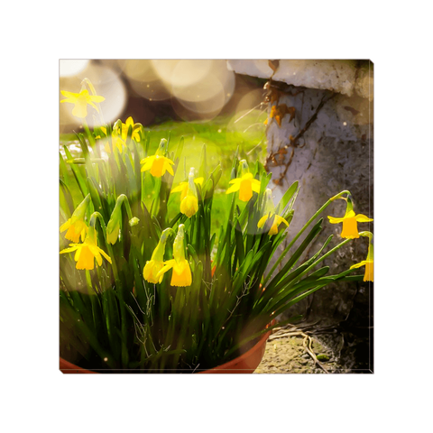 Image of Canvas Wrap - Blooming Daffodils in the Winter Sun Canvas Wrap Moods of Ireland 8x8 inch