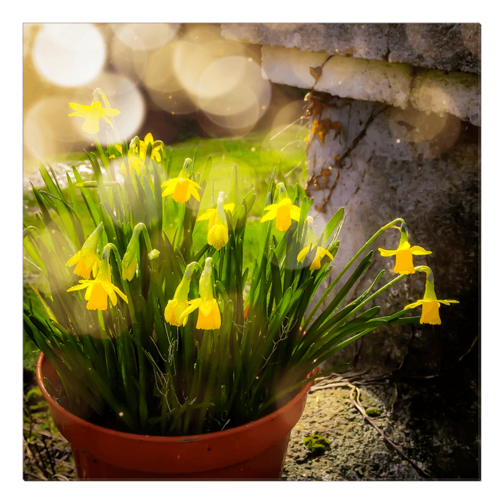 Canvas Wrap - Blooming Daffodils in the Winter Sun Canvas Wrap Moods of Ireland 30x30 inch
