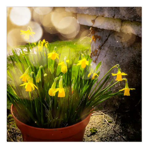 Image of Canvas Wrap - Blooming Daffodils in the Winter Sun Canvas Wrap Moods of Ireland 30x30 inch