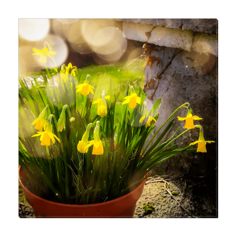 Image of Canvas Wrap - Blooming Daffodils in the Winter Sun Canvas Wrap Moods of Ireland 16x16 inch