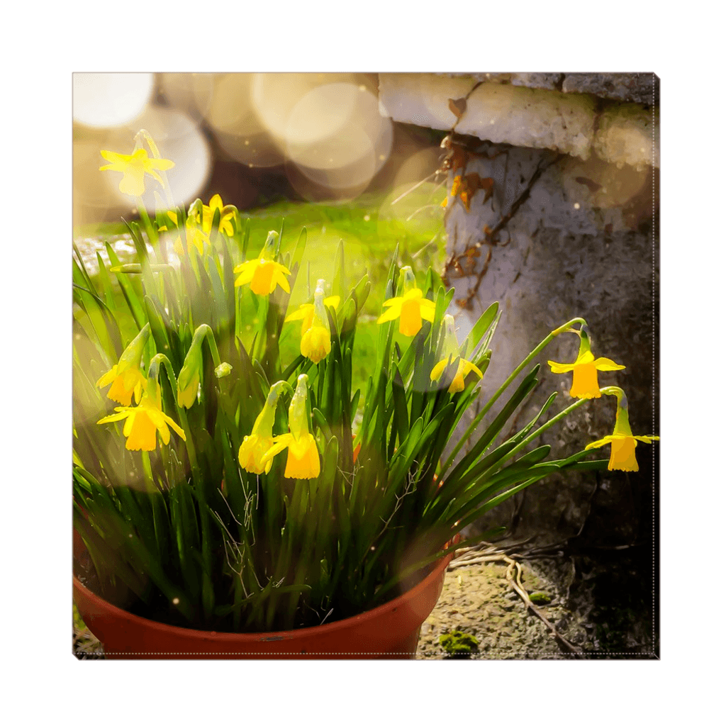 Canvas Wrap - Blooming Daffodils in the Winter Sun Canvas Wrap Moods of Ireland 12x12 inch