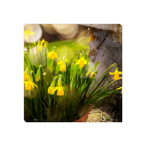 Image of Canvas Wrap - Blooming Daffodils in the Winter Sun Canvas Wrap Moods of Ireland 6x6 inch