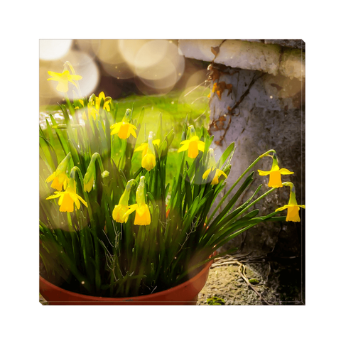Image of Canvas Wrap - Blooming Daffodils in the Winter Sun Canvas Wrap Moods of Ireland 10x10 inch