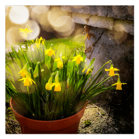 Image of Canvas Wrap - Blooming Daffodils in the Winter Sun Canvas Wrap Moods of Ireland