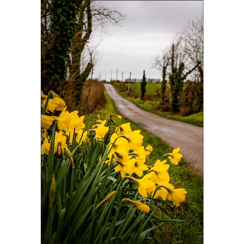 "Image of Posters - ""Irish Spring Daffodils on County Clare Country Road"" Poster Moods of Ireland 12x18 inch"