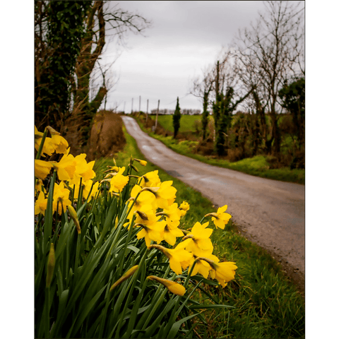 "Image of Posters - ""Irish Spring Daffodils on County Clare Country Road"" Poster Moods of Ireland 8x10 inch"