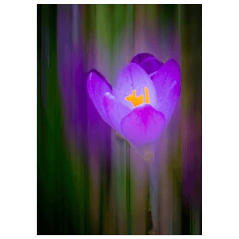 Flat Cards - Irish Spring Crocus at Coole Park, County Galway, Note Card, Photo Card, Irish Art Flat Photo Card Moods of Ireland 1 Card