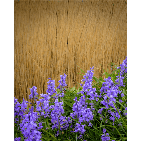 Image of Poster Print - Irish Spring Bluebells along County Clare Roadside, Ireland Poster Print Moods of Ireland 8x10 inch