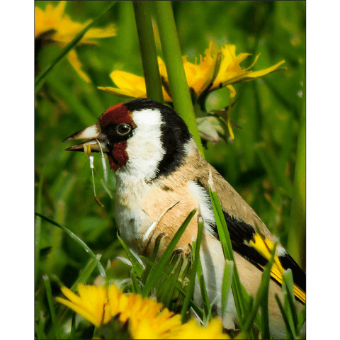 Image of Poster Print - Irish Goldfinch Poster Print Moods of Ireland 8x10 inch