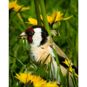 Poster Print - Irish Goldfinch Poster Print Moods of Ireland 8x10 inch