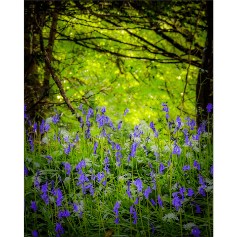 Image of Poster Print - Irish Bluebells in Clondegad Wood, County Clare, Ireland Poster Print Moods of Ireland 8x10 inch
