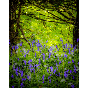 Poster Print - Irish Bluebells in Clondegad Wood, County Clare, Ireland Poster Print Moods of Ireland 8x10 inch