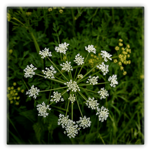 Metal Magnets - Water Drop Wort Hemlock Irish Wildflower Metal Magnet Moods of Ireland 2x2 inch
