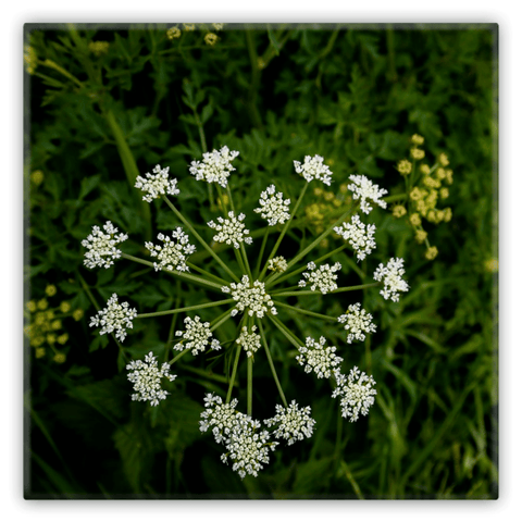 Image of Metal Magnets - Water Drop Wort Hemlock Irish Wildflower Metal Magnet Moods of Ireland 2x2 inch