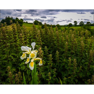 Poster Print - Wild Iris in Irish Meadow