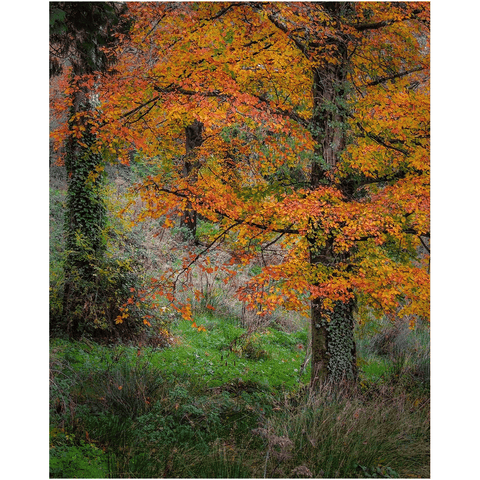 Image of Print - Autumn Tree in Clondegad Wood, County Clare - James A. Truett - Moods of Ireland - Irish Art