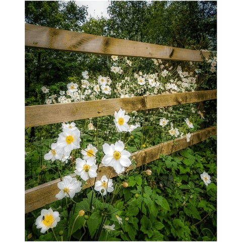Image of Print - Japanese Anemones in the Irish Countryside Poster Print Moods of Ireland 8x10 inch