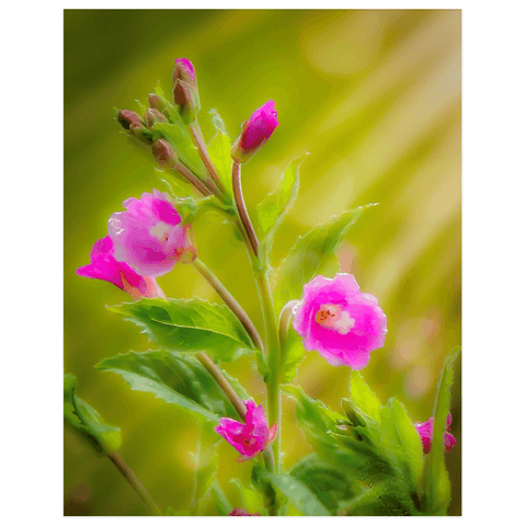 Image of Print - Sun Rays on Great Willowherb Blossoms Poster Print Moods of Ireland 11x14 inch