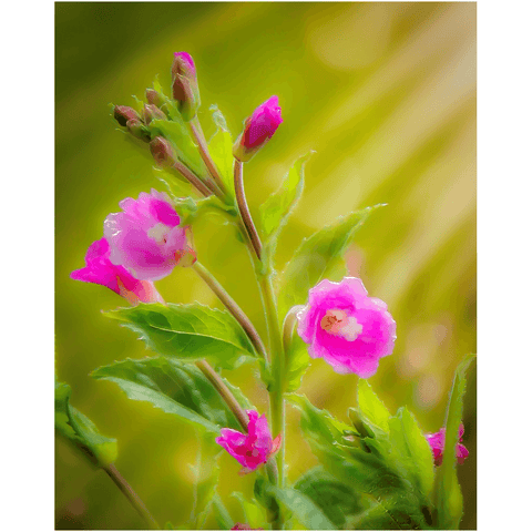 Image of Print - Sun Rays on Great Willowherb Blossoms Poster Print Moods of Ireland 8x10 inch