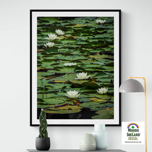 Print - Water Lilies on Dromoland Lough, County Clare - James A. Truett - Moods of Ireland - Irish Art
