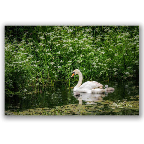 "Image of ""Swan and Cygnets at Doneraile Park"" Irish Poster Print Poster Moods of Ireland"