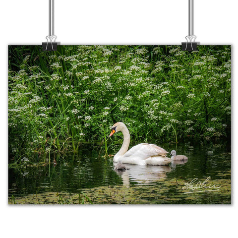 """Swan and Cygnets at Doneraile Park"" Irish Poster Print Poster Moods of Ireland"