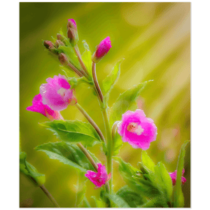Print - Sun Rays on Great Willowherb Blossoms Poster Print Moods of Ireland 20x24 inch