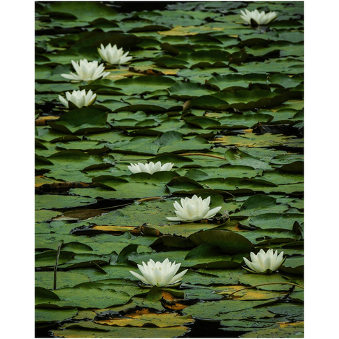 Image of Print - Water Lilies on Dromoland Lough, County Clare - James A. Truett - Moods of Ireland - Irish Art