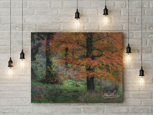Autumn Tree in Clondegad Wood Poster Print