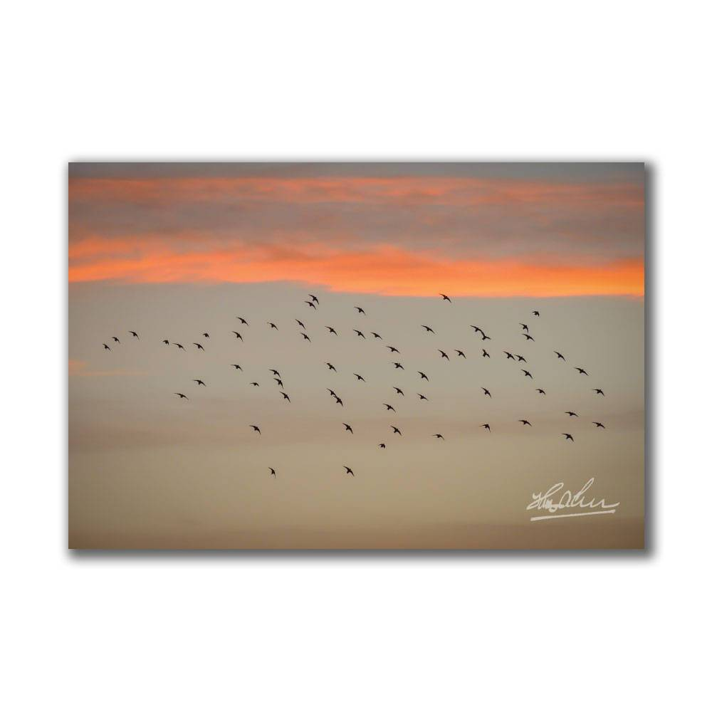 Starlings at Sunset Irish Poster Print