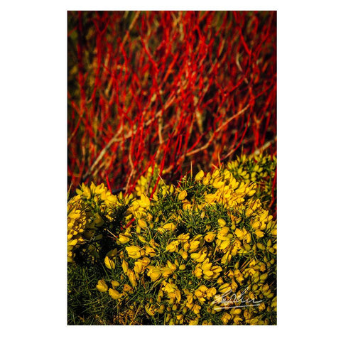 Image of Gorse Blooming with Dogwood in County Clare, Ireland, Nature Poster Poster Moods of Ireland