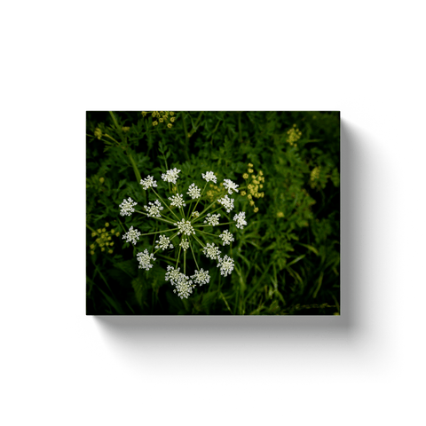 Image of Canvas Wraps - Water-Dropwort Hemlock in County Clare Canvas Wrap Moods of Ireland 8x10 inch