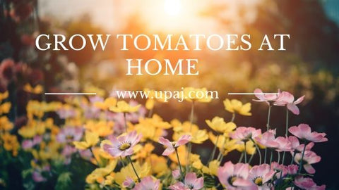 grow tomatoes at home