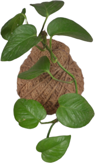 Kokedama Ball Pothos (Money plant)
